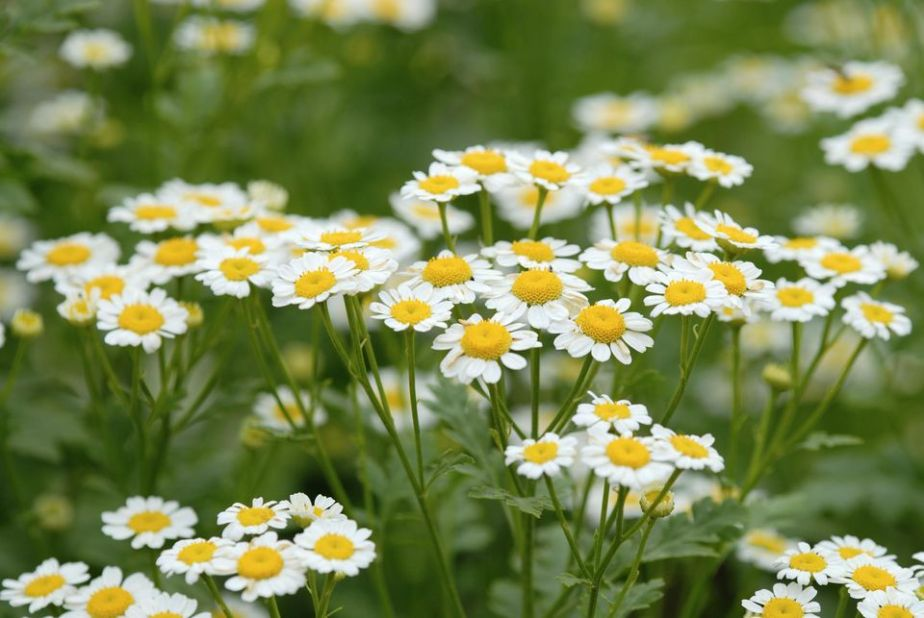 Day 8 Herb of the Day Chamomile! Magic and Medicinals. What our ancestors knew by The Magic Apothecary, Mary ElizabethMicari