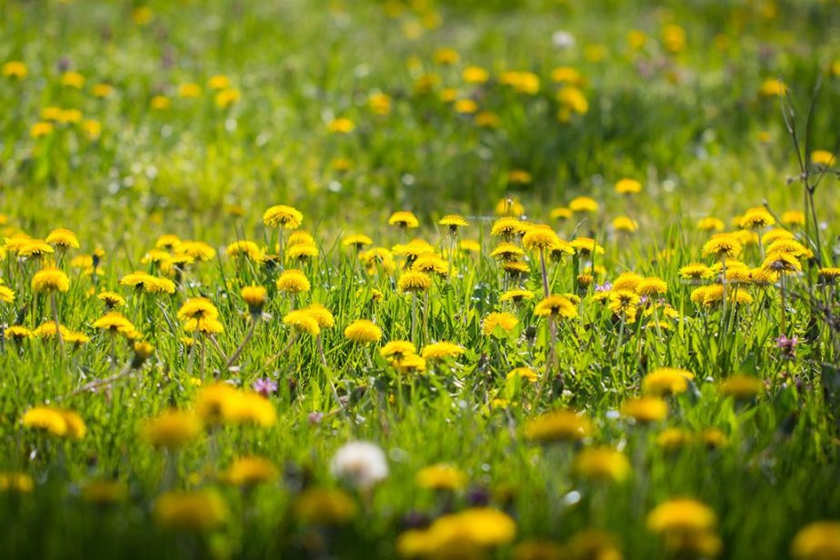 Day 6 Herb of the Day Dandelion! Magic and Medicinals. What our ancestors knew by The Magic Apothecary, Mary ElizabethMicari