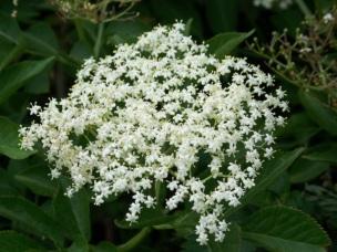 Elder_flower_(Sambucus_nigra),_Bishopstone_-_geograph.org.uk_-_1360308
