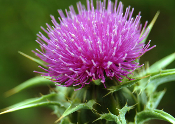 Day 11 Herb of the Milk Thistle! Magic and Medicinals. What our Ancestors Knew, by The Magic Apothecary, Mary ElizabethMicari